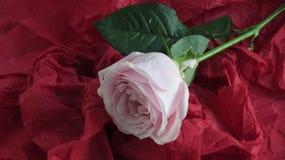 Rosa färgros på rött papper royaltyfri bild