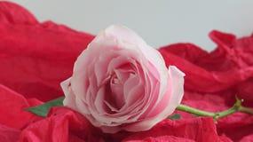 Rosa färgros på rött papper royaltyfri foto
