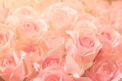 Rosa färgros på rosa bakgrund, i det mjuk och suddighetsfiltret för backgr Arkivbilder