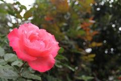 Rosa färgros på vänster sida av fotoet Arkivbilder