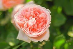 Rosa färgros som blommar i sommaren eller vårdagen med kopieringsutrymme Fotografering för Bildbyråer