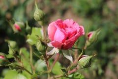 Rosa färgros som blomstras i trädgården arkivfoton