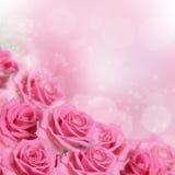 Rosa färgros som en bakgrund Royaltyfri Fotografi