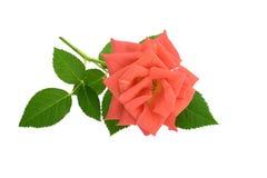 Rosa färgros som isoleras på vit Arkivbilder
