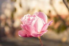 Rosa färgros, suddig bakgrund Fotografering för Bildbyråer