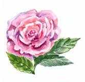 Rosa färgros, vattenfärg Royaltyfri Foto