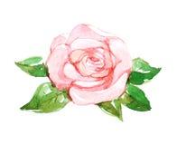 Rosa färgros, vattenfärgillustration Arkivfoton
