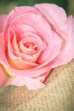Rosa färgrosblomma Arkivfoto
