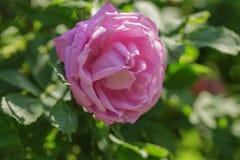 Rosa färgrosblomma på busken Fotografering för Bildbyråer