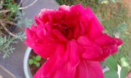 Rosa färgrosblomma på full blom Arkivfoto