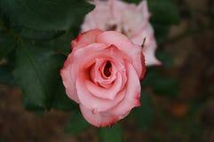 Rosa färgrosblomma som blommar i trädgården Royaltyfri Foto
