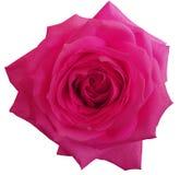 Rosa färgrosblomman, vit isolerade bakgrund med den snabba banan closeup Royaltyfri Foto