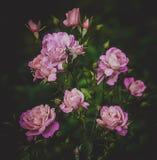 Rosa färgrosbuske i det trädgårds- utomhus Royaltyfri Fotografi