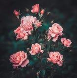 Rosa färgrosbuske i trädgården Royaltyfri Fotografi
