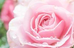 Rosa färgrosen är så ett härligt Arkivfoto