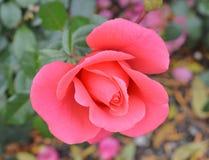 Rosa färgrosen, blomman, makro, parkerar Arkivbilder