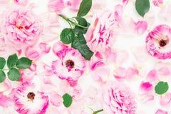 Rosa färgrosen blommar, sidor och kronblad på vit bakgrund Lekmanna- lägenhet, bästa sikt Royaltyfria Foton