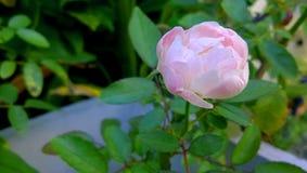 Rosa färgrosen på blomkrukan Royaltyfri Bild