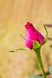 Rosa färgrosknopp Arkivbild