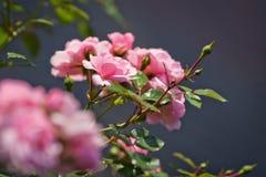 Rosa färgrosknopp i trädgård Den härliga pinken steg i en trädgård Arkivbilder