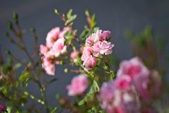 Rosa färgrosknopp i trädgård Den härliga pinken steg i en trädgård Royaltyfri Foto