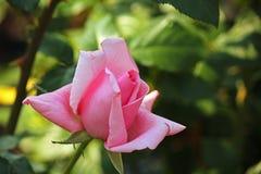 Rosa färgrosknopp med grön bakgrund royaltyfria bilder