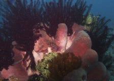Rosa färgsvampar som omges av crinoids i den Balicasad ön Royaltyfri Bild