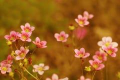Rosa färgträdgårdblommor Arkivfoto