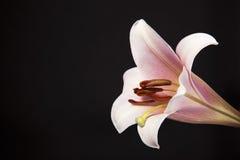 Rosa färgtrumpetlilja Royaltyfria Bilder