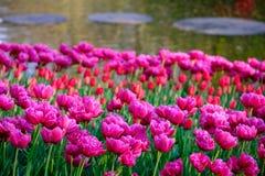 Rosa färgtulpan som reflekterar solen på Keukenhof trädgårdar, Lisse, södra Holland Fotograferat i HDR h?gt dynamiskt omr?de royaltyfria bilder