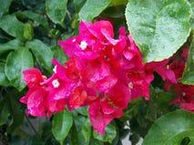 Rosa färgväxt Arkivfoto