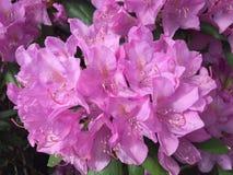 Rosa färgvårblomma royaltyfria foton