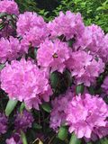 Rosa färgvårblomma arkivbild