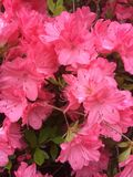 Rosa färgvårblomma royaltyfri fotografi