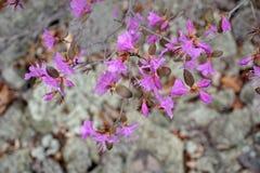 Rosa färgvårblommor av rhododendron Fotografering för Bildbyråer