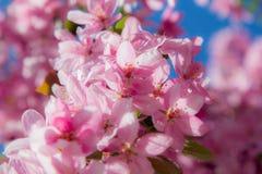 Rosa färgvåren blommar på ett träd Arkivfoton