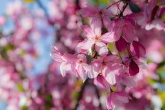 Rosa färgvåren blommar på ett träd Royaltyfria Foton