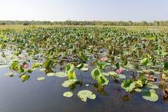 Rosa färgvatten Lillies, Yellow River, Australien Royaltyfria Foton