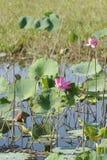 Rosa färgvatten Lillies, Yellow River, Australien Royaltyfria Bilder