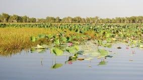 Rosa färgvatten Lillies, Yellow River, Australien Arkivbilder