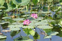 Rosa färgvatten Lillies, Yellow River, Australien Royaltyfri Foto