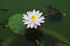 Rosa färgvatten Lilly eller Lotus i dammet Arkivfoto