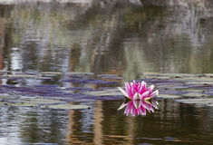 Rosa färgvatten Lily Reflection Royaltyfri Bild