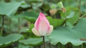Rosa färgvattenLily Flower High Definition Stock längd i fot räknat stock video