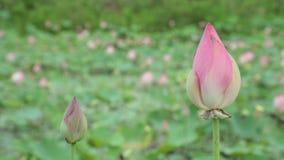 Rosa färgvattenLily Flowers High Definition Stock längd i fot räknat lager videofilmer
