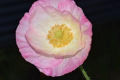 Rosa färgviktig Flanders Poppy Yellow Anthers royaltyfria foton