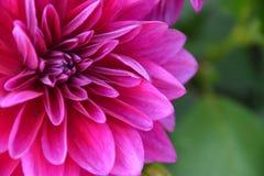 Rosa färgvinterblomma i Island Arkivfoton
