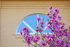 Rosa fönster för magnoliaträdblomma inget royaltyfri foto
