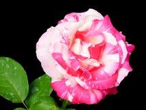 Rosa ` för blomma`, Arkivfoton