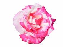 Rosa ` för blomma`, Royaltyfri Fotografi